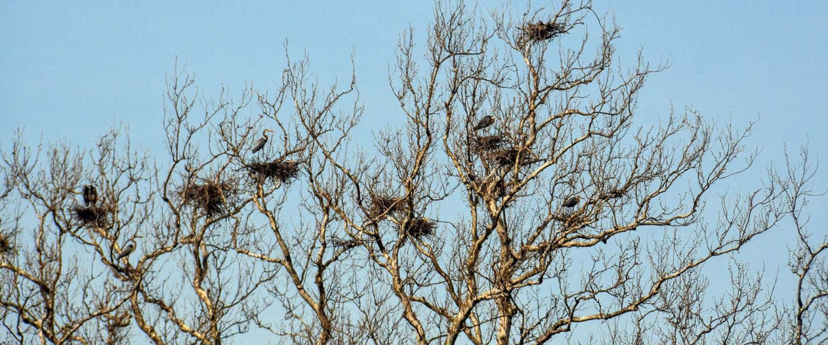 Top of a tree with multiple birds and their nests